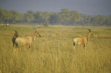 Antilopen in der Masai Mara