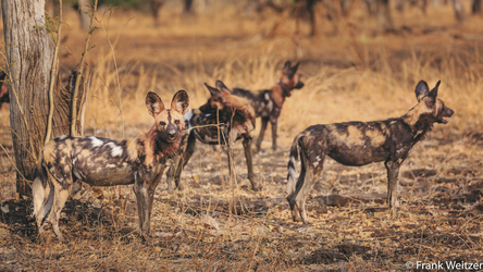 Wildhunde im Süd Luangwa Nationalpark