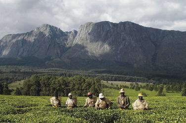 Teepflücker vor den Mulanje Bergen