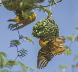 Webervögel, ©Ute von Ludwiger