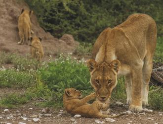 Löwin mit Nachwuchs, ©Ute von Ludwiger