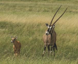 Oryx mit Nachwuchs, ©Ute von Ludwiger
