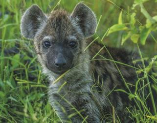 Kleine Hyäne, ©Ute von Ludwiger