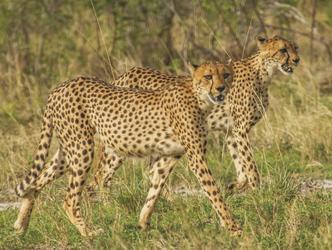 Geparden, ©Ute von Ludwiger