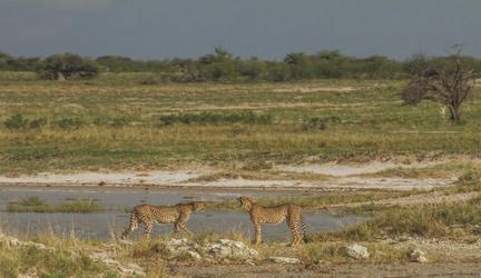 Geparden am Wasserloch, ©Ute von Ludwiger