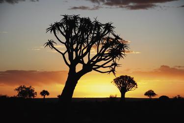 Köcherbäume im Abendlicht