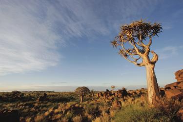 Köcherbaum im Süden Namibias