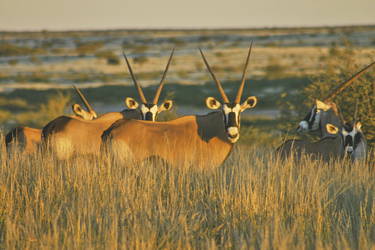 Neugierige Oryx-Antilopen