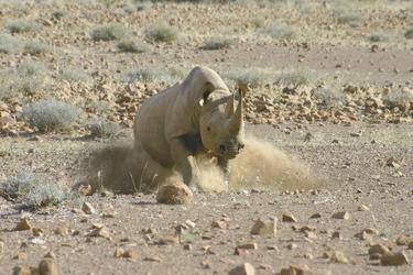 Spitzmaulnashorn im Ansturm bei Palmwag