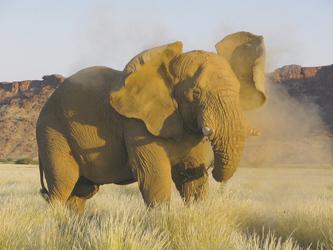 Wüstenelefant wirbelt Staub auf