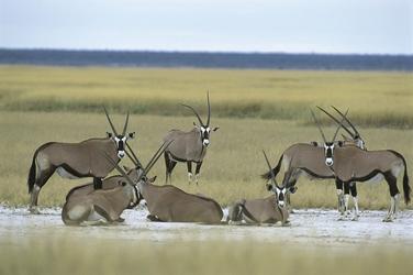 Oryx Antilopen bei Fishers Pan