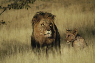 Löwen im Kaokoland