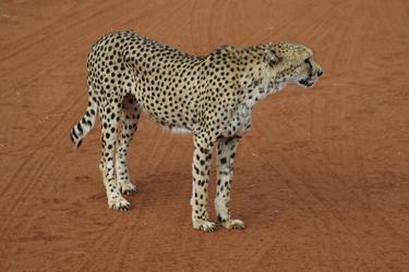 Gepardenbeobachtung, hautnah