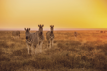 Zebras im Sonnenuntergang