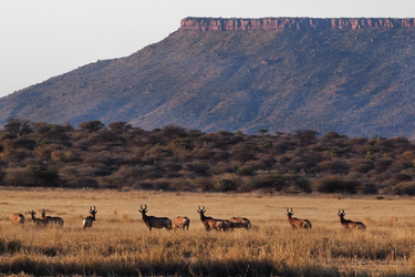 Antilopen an der Waterberg guestfarm