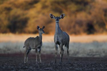 Kudu Antilopen an der Waterberg guestfarm