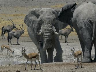Elefanten, Oryx Antilopen und Springböcke
