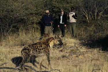 Hyänen Tracking auf Okonjima