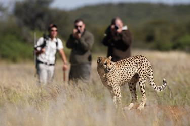 Gepardenbeobachtung hautnah