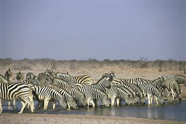 Zebras am Wasserloch Nähe Onguma