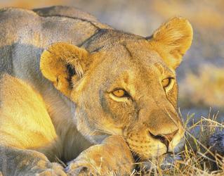 Löwin ganz relaxt im Etosha Nationalpark
