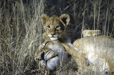 Löwenmama mit ihrem Löwenkind