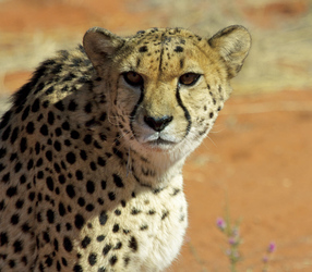 Auf Tuchfühlung mit dem Geparden