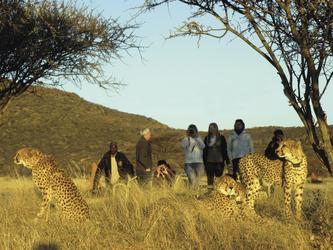 Gepardenbeobachtung aus nächster Nähe