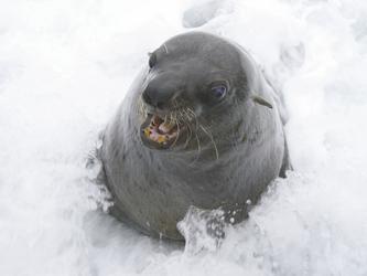 Eine neugierige Robbe