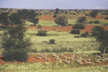 Reges Treiben in der Kalahari
