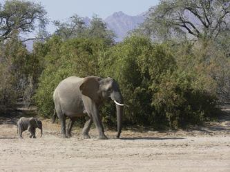 Zusammentreffen mit den Wüstenelefanten