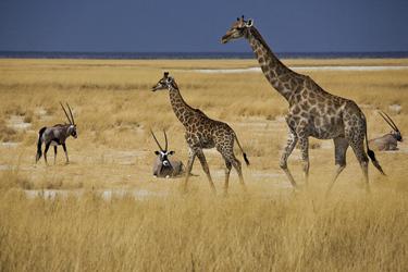 Giraffen und Oryx in trauter Zweisamkeit