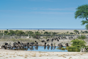 ©David Rogers, Etosha Nationalpark