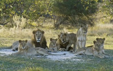 Löwenrudel im Etosha Nationalpark