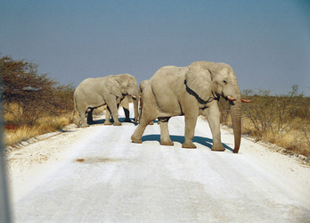 Elefanten überqueren die Straße im Etosha Nationalpark