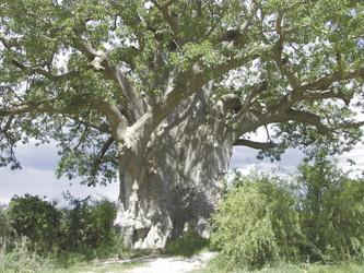 Affenbrotbaum im Mahango NP