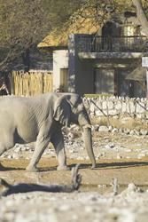 Okaukuejo Camp mit Elefant