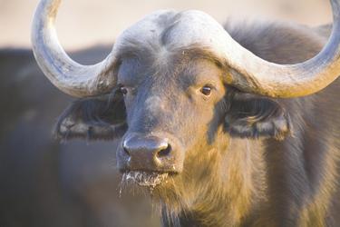 Büffel im Waterberg Plateau Park