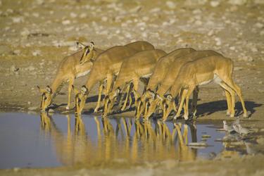 Antilopen trinken im Etosha Nationalpark