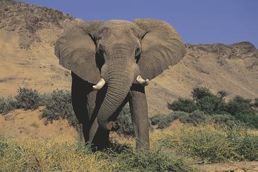 Wüstenelefant bei Twyfelfontein, ©Mowani Mountain Camp