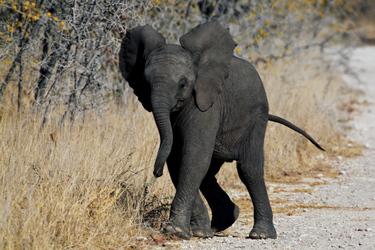 Kleiner Elefant im Etosha Nationalpark