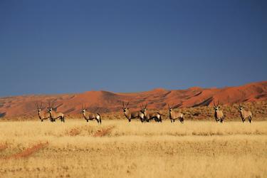 Oryx Antilopen in der Namib, © Kina Joubert