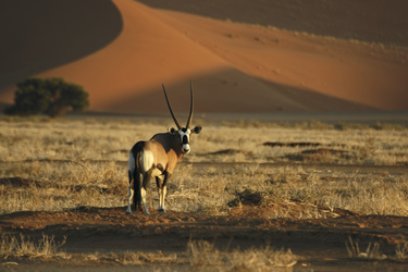 Oyx-Antilope in den Dünen