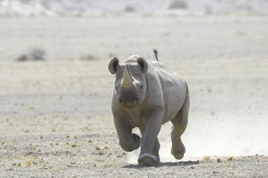 Nashorn im Damaraland