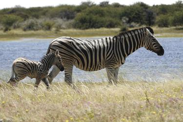 Im Etosha Nationalpark