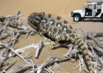 Kleine Bewohner der Namib Wüste