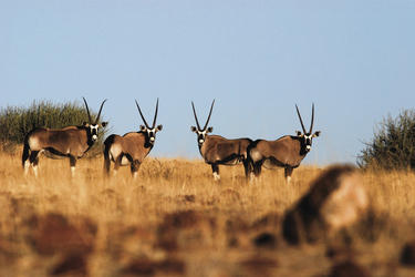 Oryx Antilopen in der Savanne