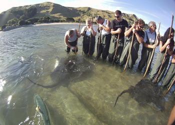 Stachelrochen an Tatapouri Reef