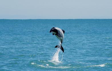 Delfin bei Akaroa