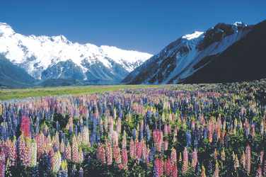 Lupinenfeld am Mt. Cook